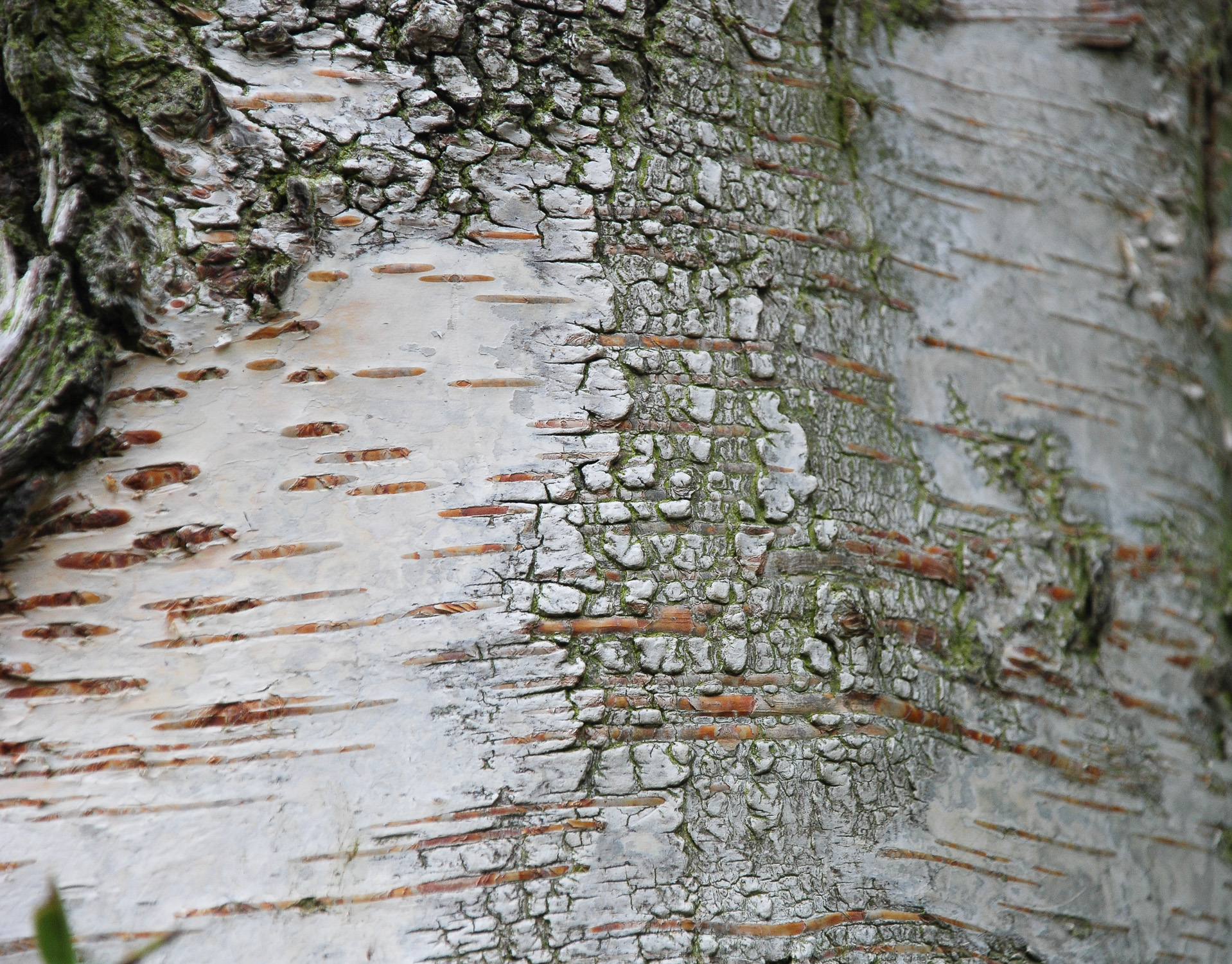 birch bark Helen Terry.jpg
