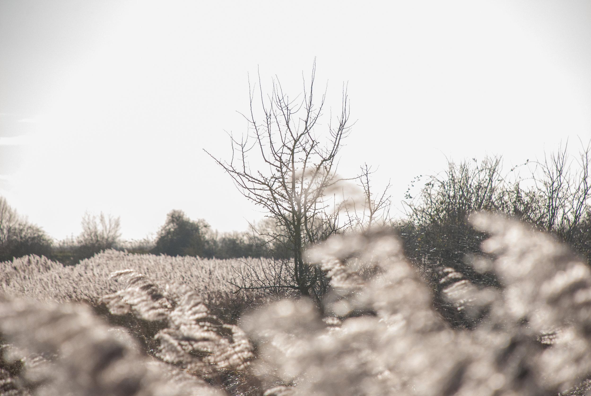 Reeds silver in winter Helen Terry Wicken Fen.jpg