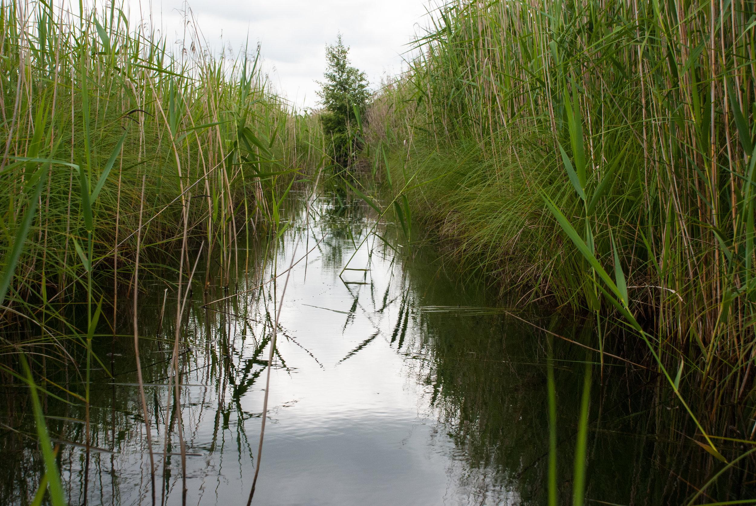 Reeds in summer Helen Terry Wicken Fen.jpg