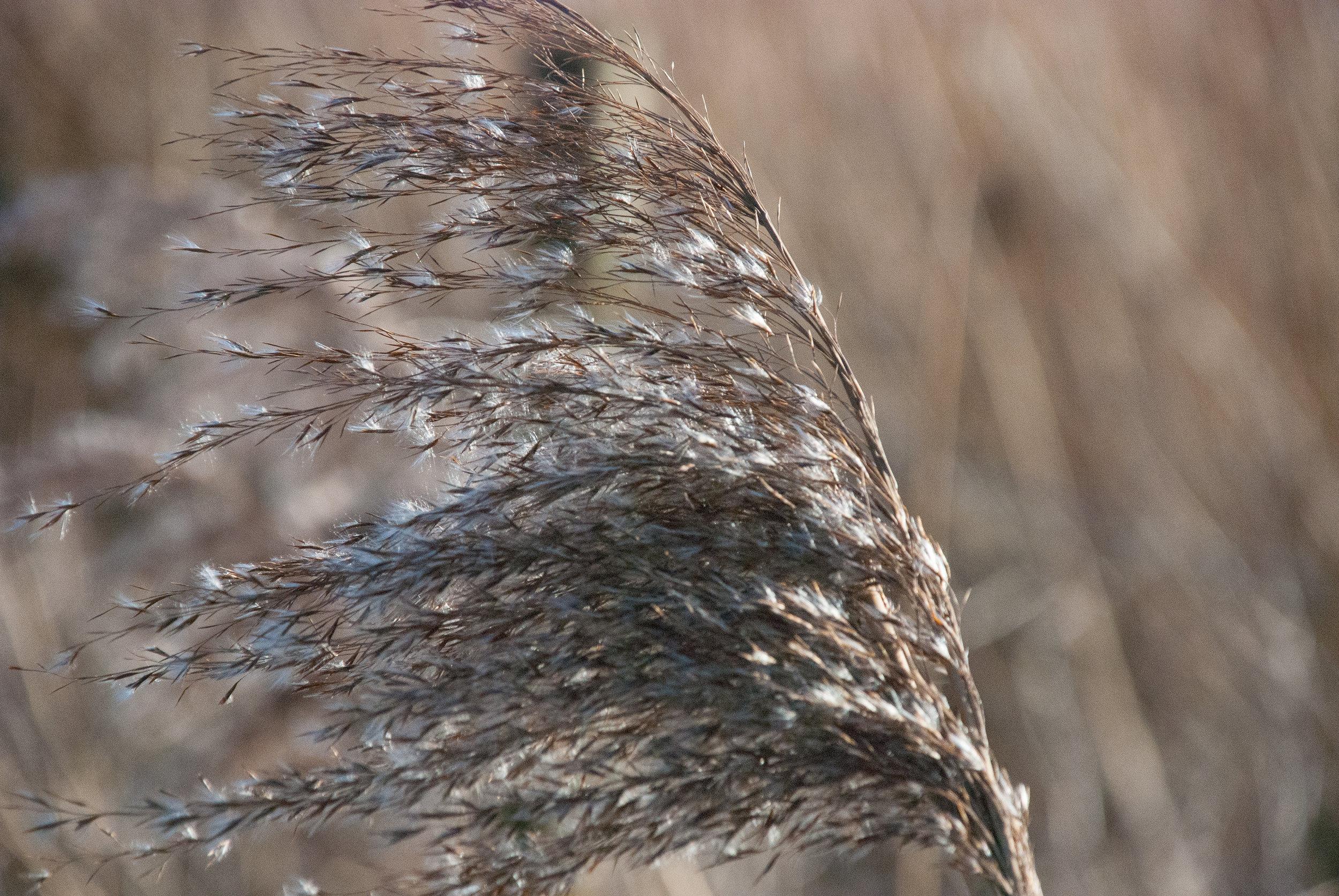 Reed seedhead in winter Helen Terry Wicken Fen.jpg