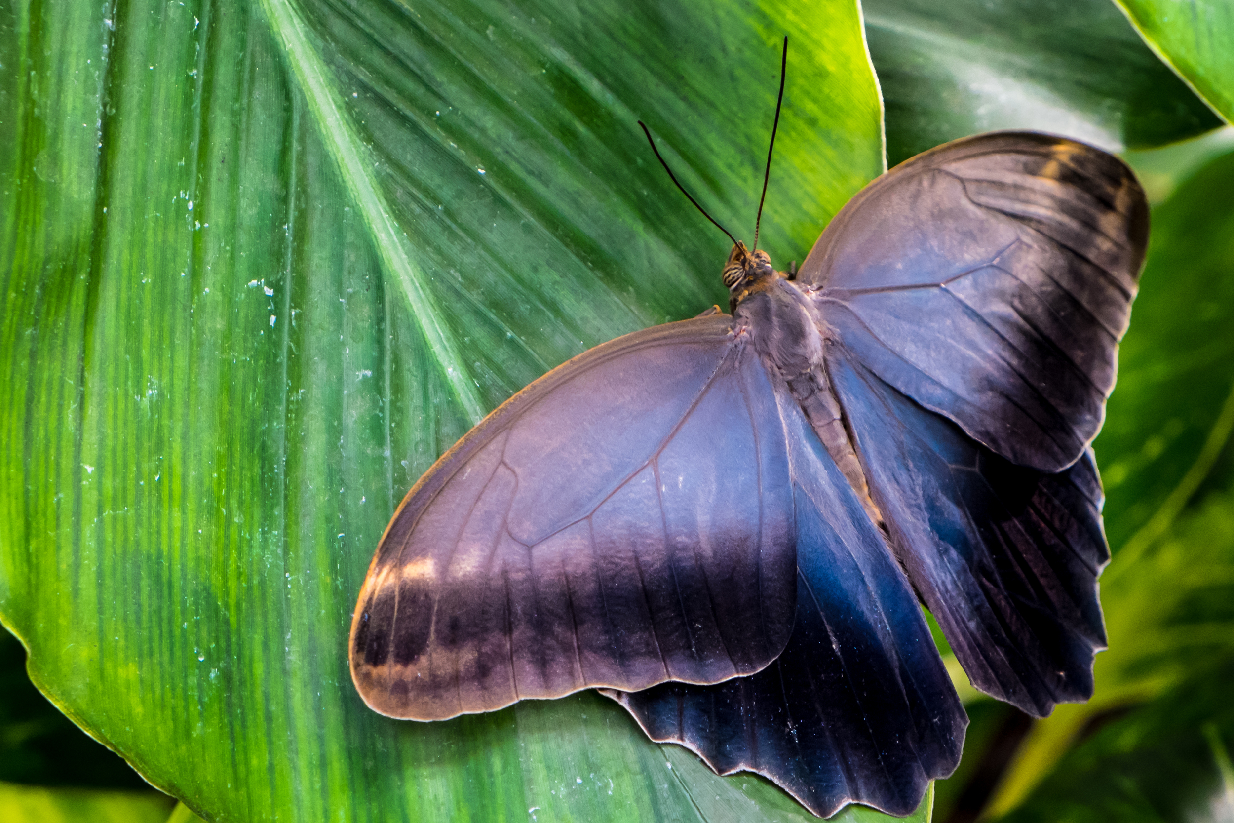 Big Black Butterfly