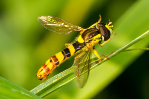 Hoverfly -  Sphaerophoria scripta  photo  Karl Wotton