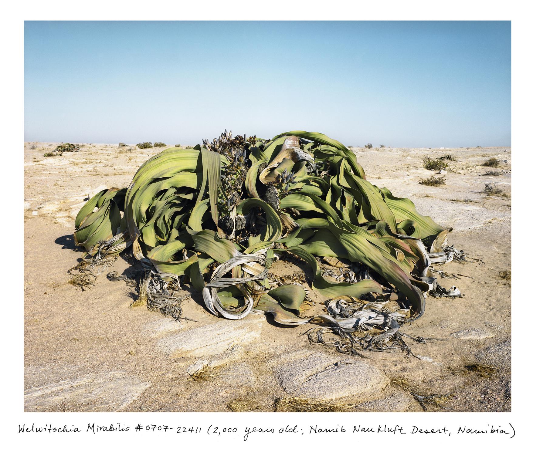 Welwitschia_0707_22411_txt.jpg