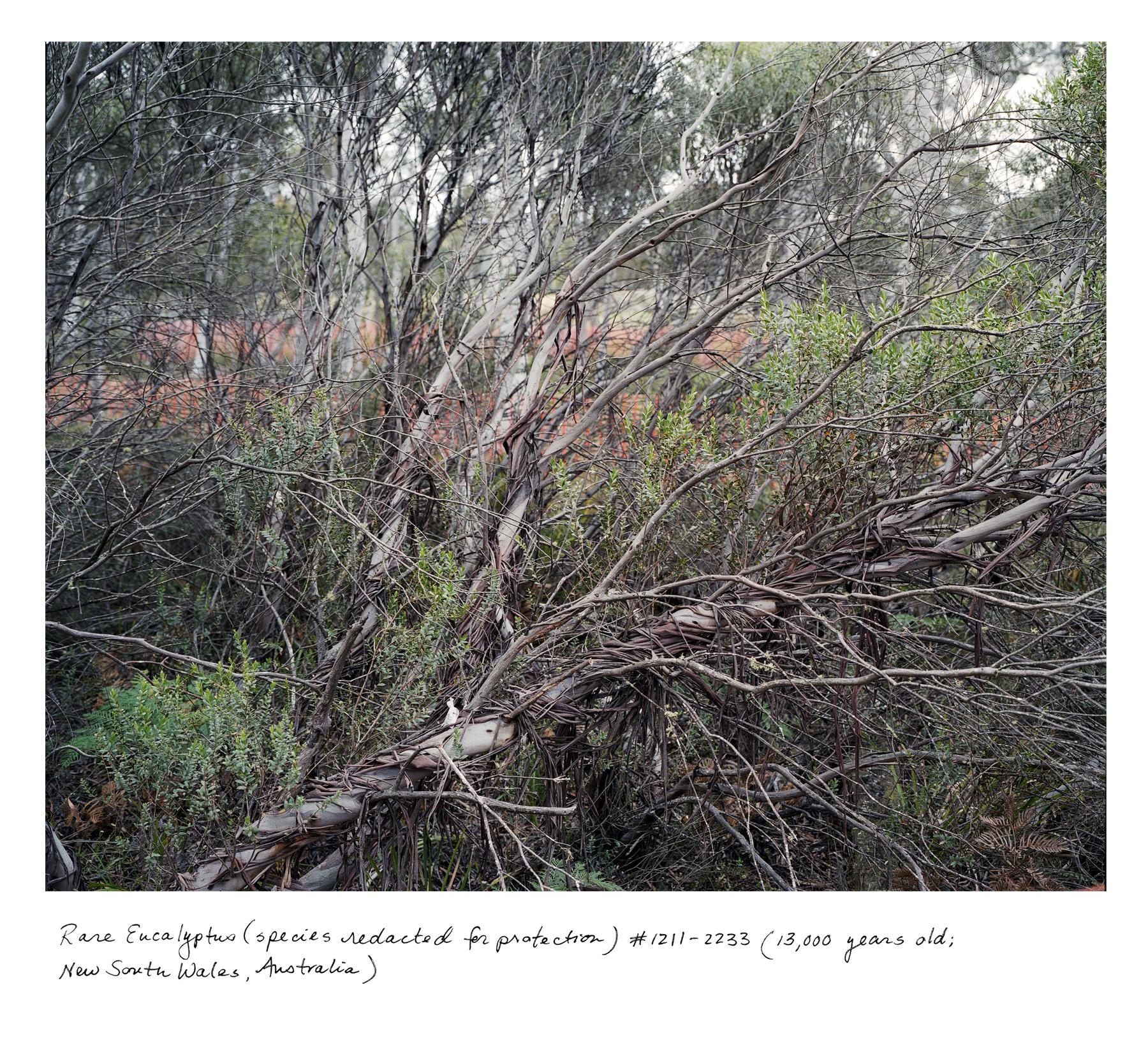 NSW_Eucalyptus_1211_2233.jpg