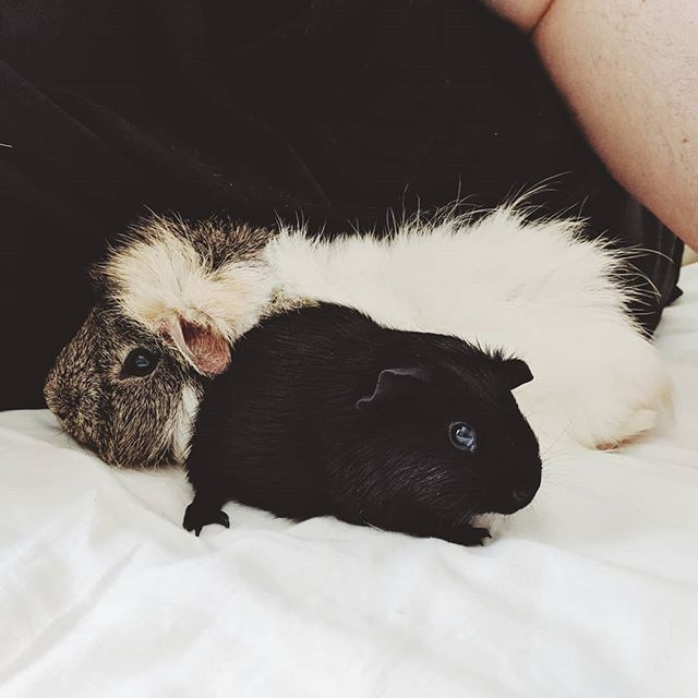 So, we're guinea pig people now 🐷  #guineapig #guineapigs #guineapigsofinstagram #petsofinstagram #cutepetsclub #bestfriends