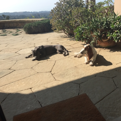 Lazy pups on the terrace: Petunia and Eloise