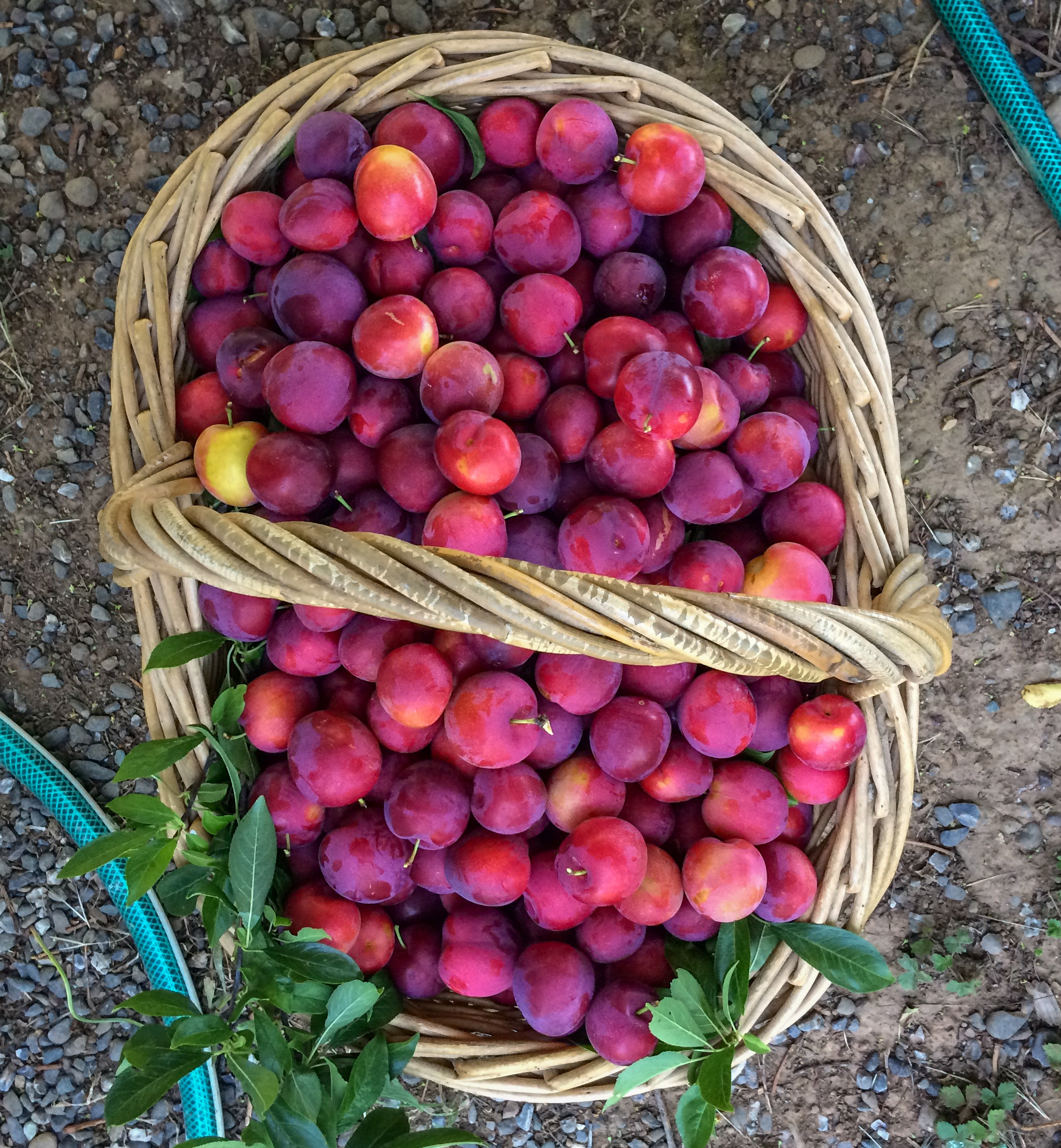First up: Beauty Plums.To be followed by Laredo Sweet Purple, Pluot Greens, French Prunes