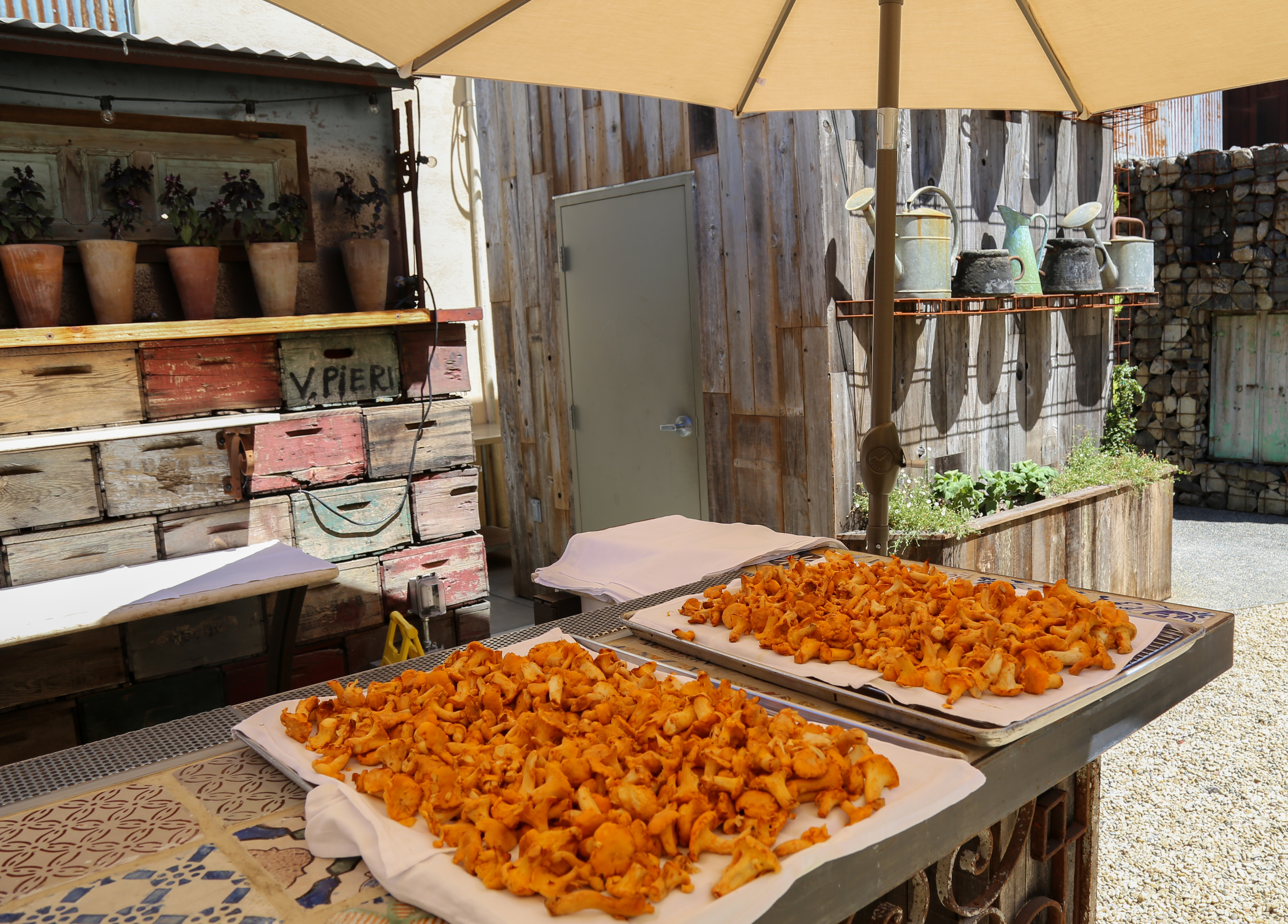 Chanterelles drying on the gallery bar
