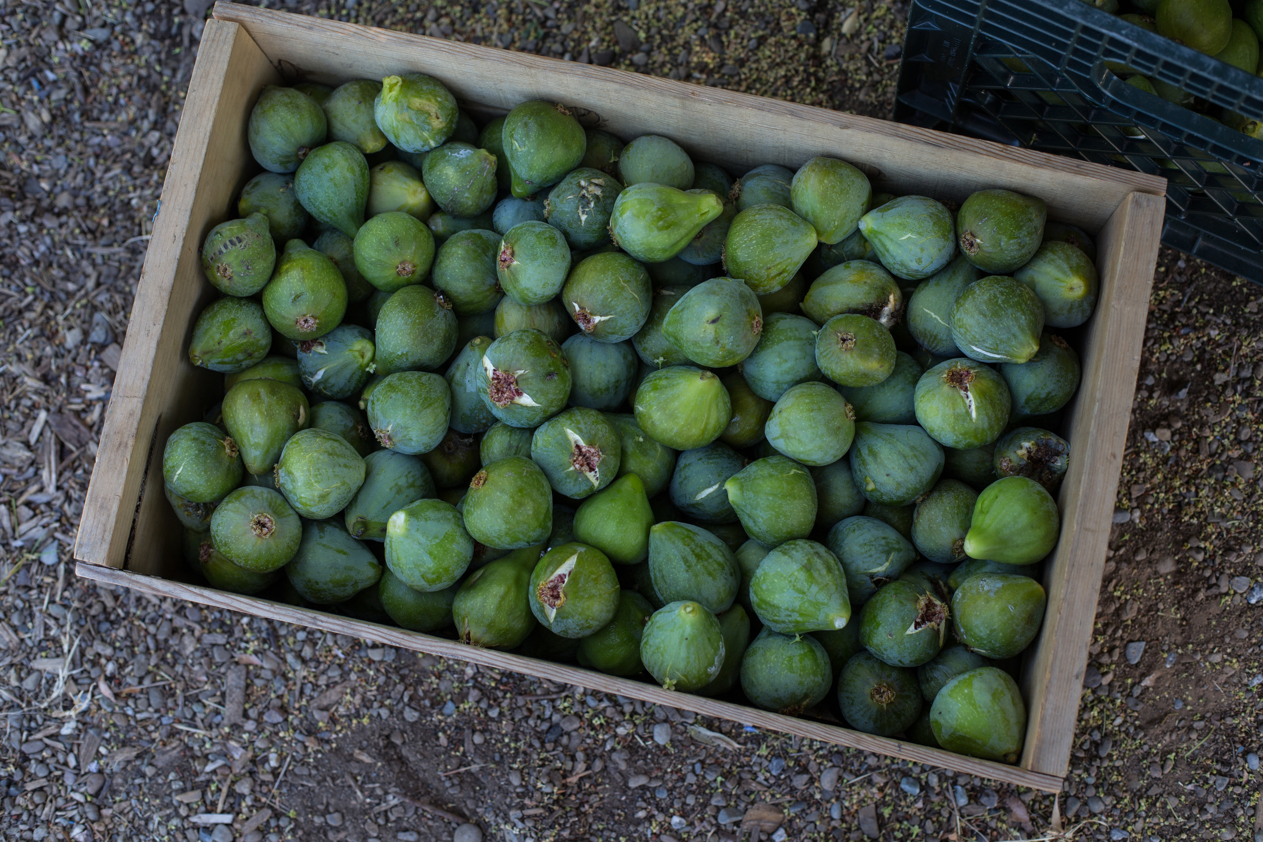 A bumper crop of genoa figs - most of our trees are over 80 years old