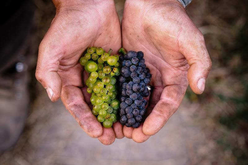 small vines harvest  february .jpg