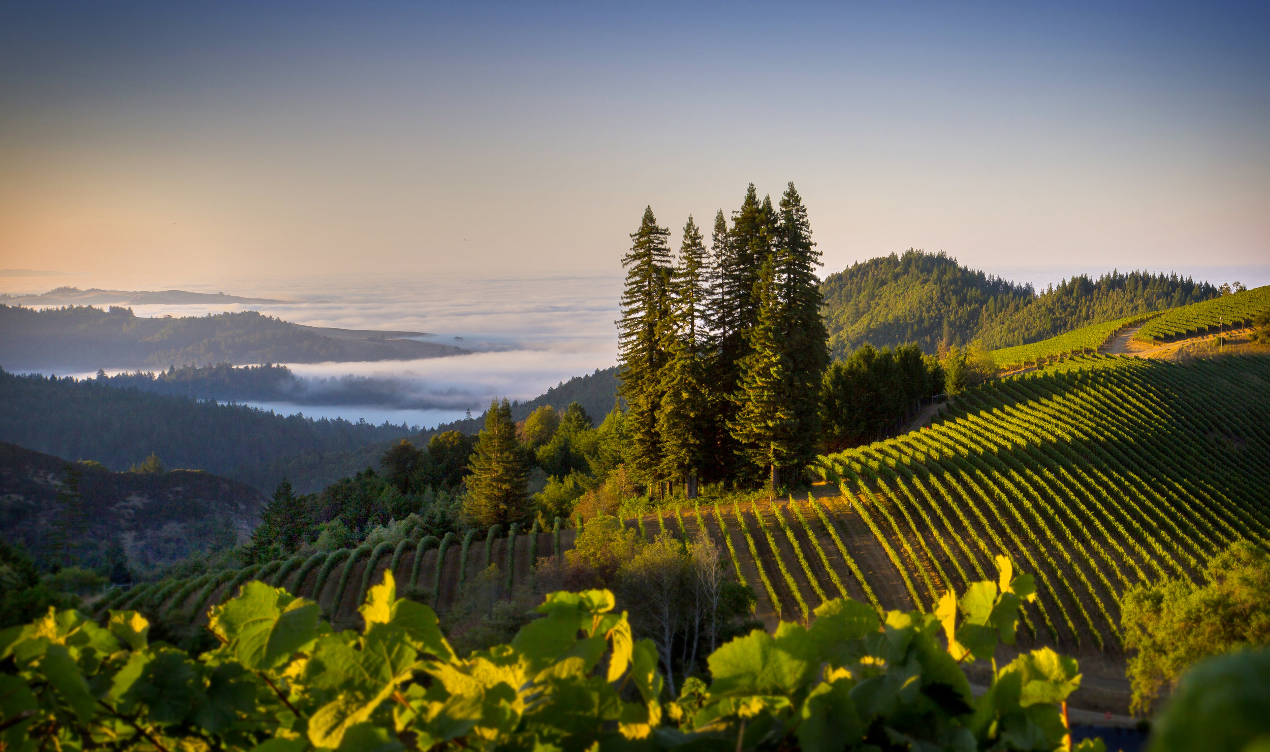 """The beauty of the """"Extreme Sonoma Coast"""" overlooking Flowers Seaview Vineyards"""
