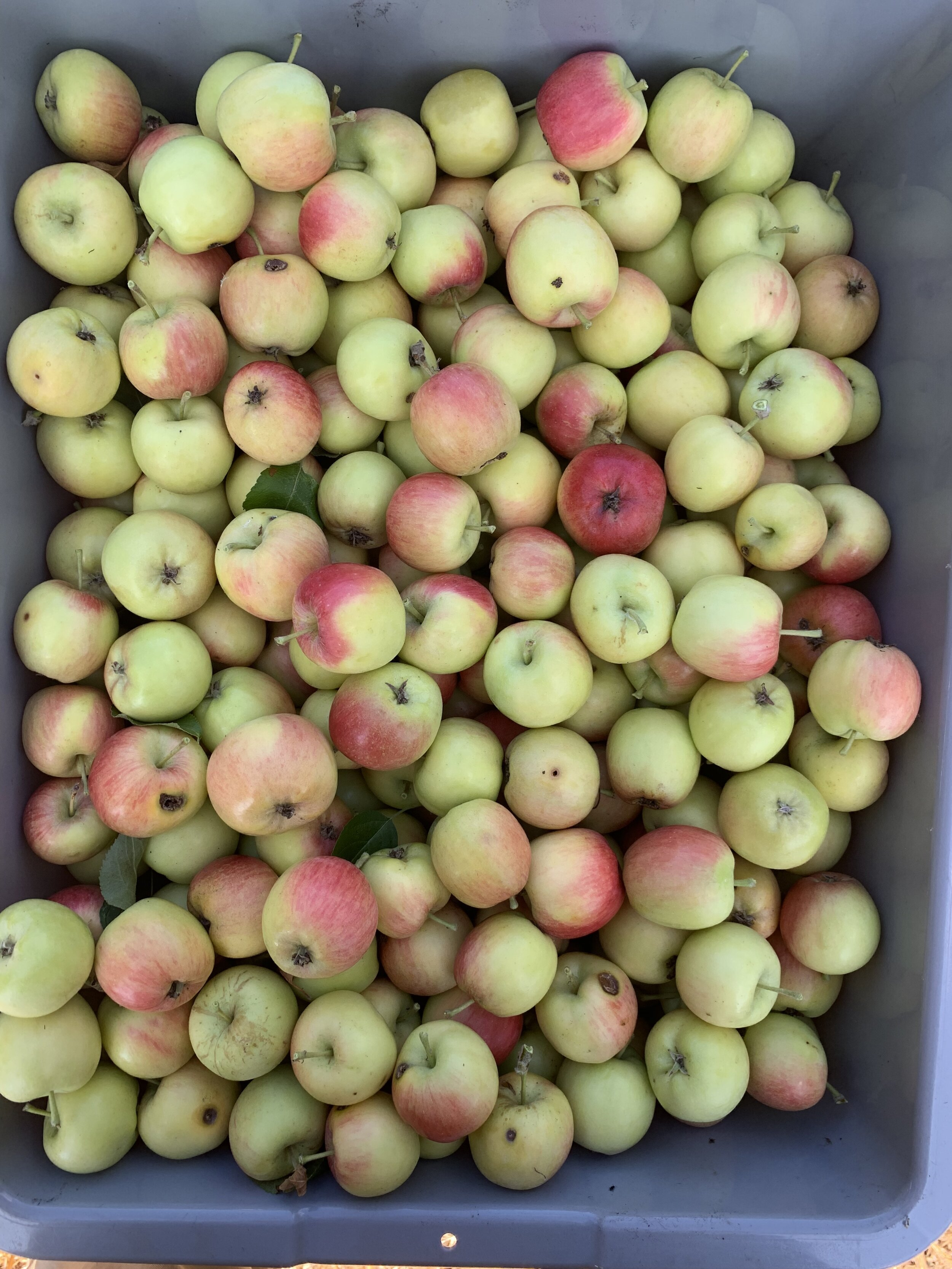 BD farm apples show up on the autumn menu with cider vinegar vinaigrettes, savory gastriques, jams, syrup, and baked in pies