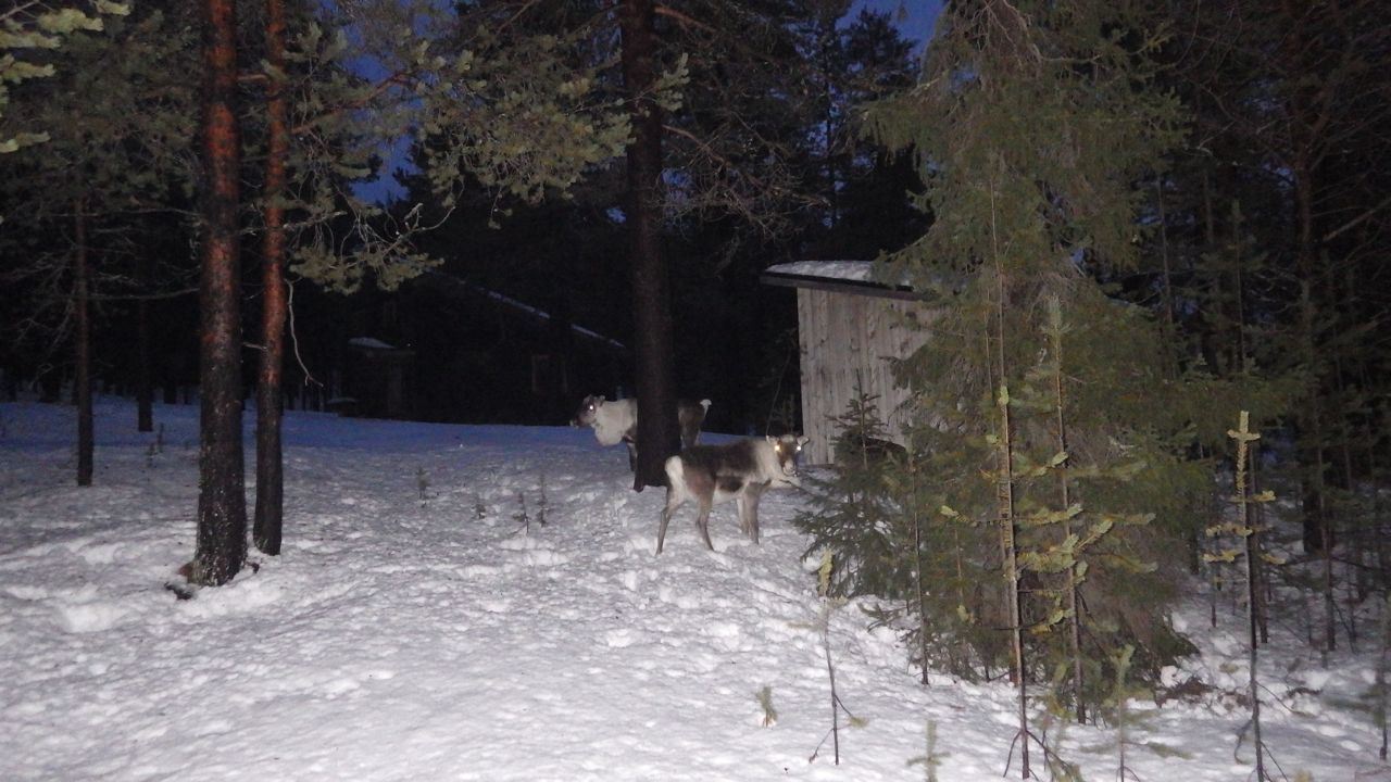 First reindeers of this season, Rudolph the white-eyed ones!