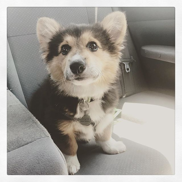 Oscar is a surprisingly chill travel pooch. #corgi #puppy