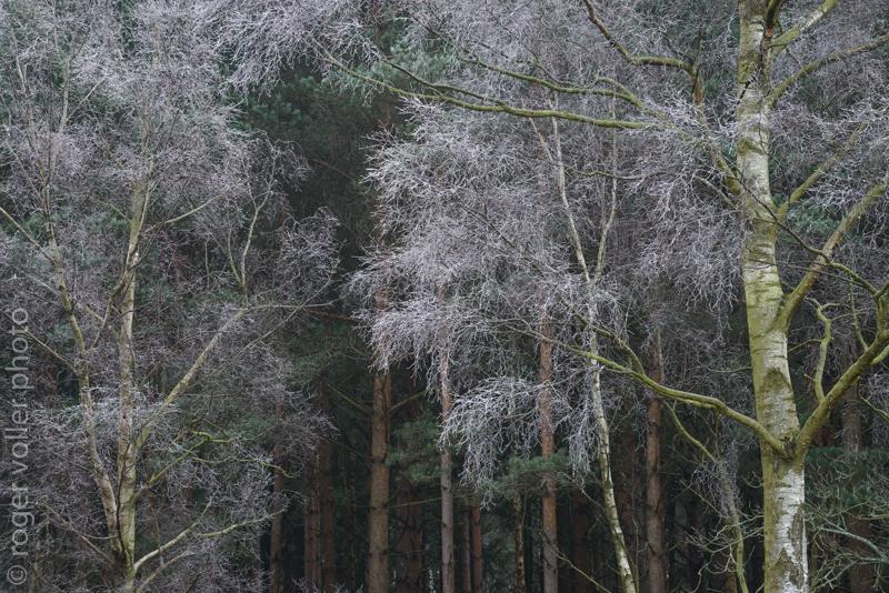 Hoar Forest II