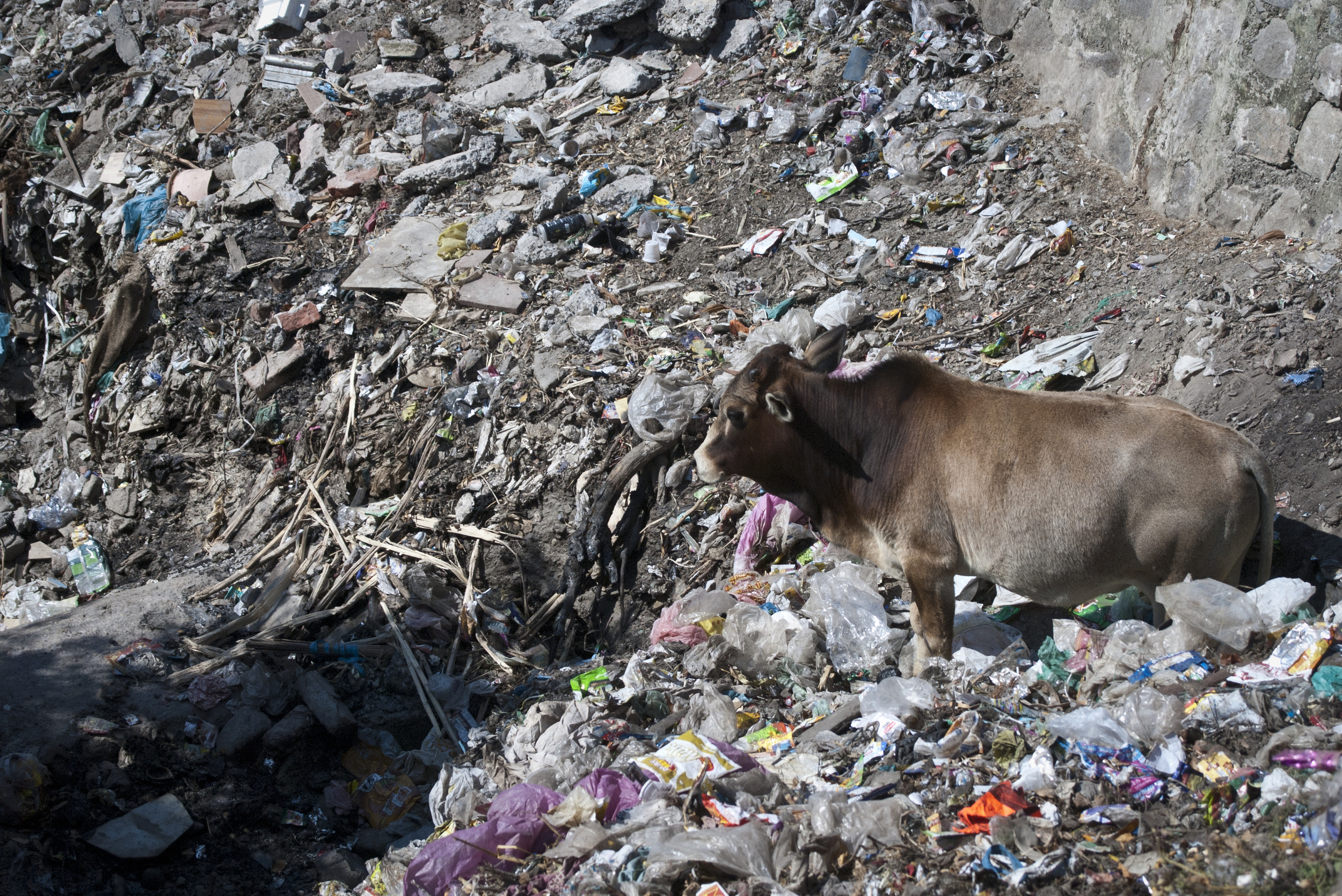 A cow stands amidst a large build up of trash on the perimeter of the city.