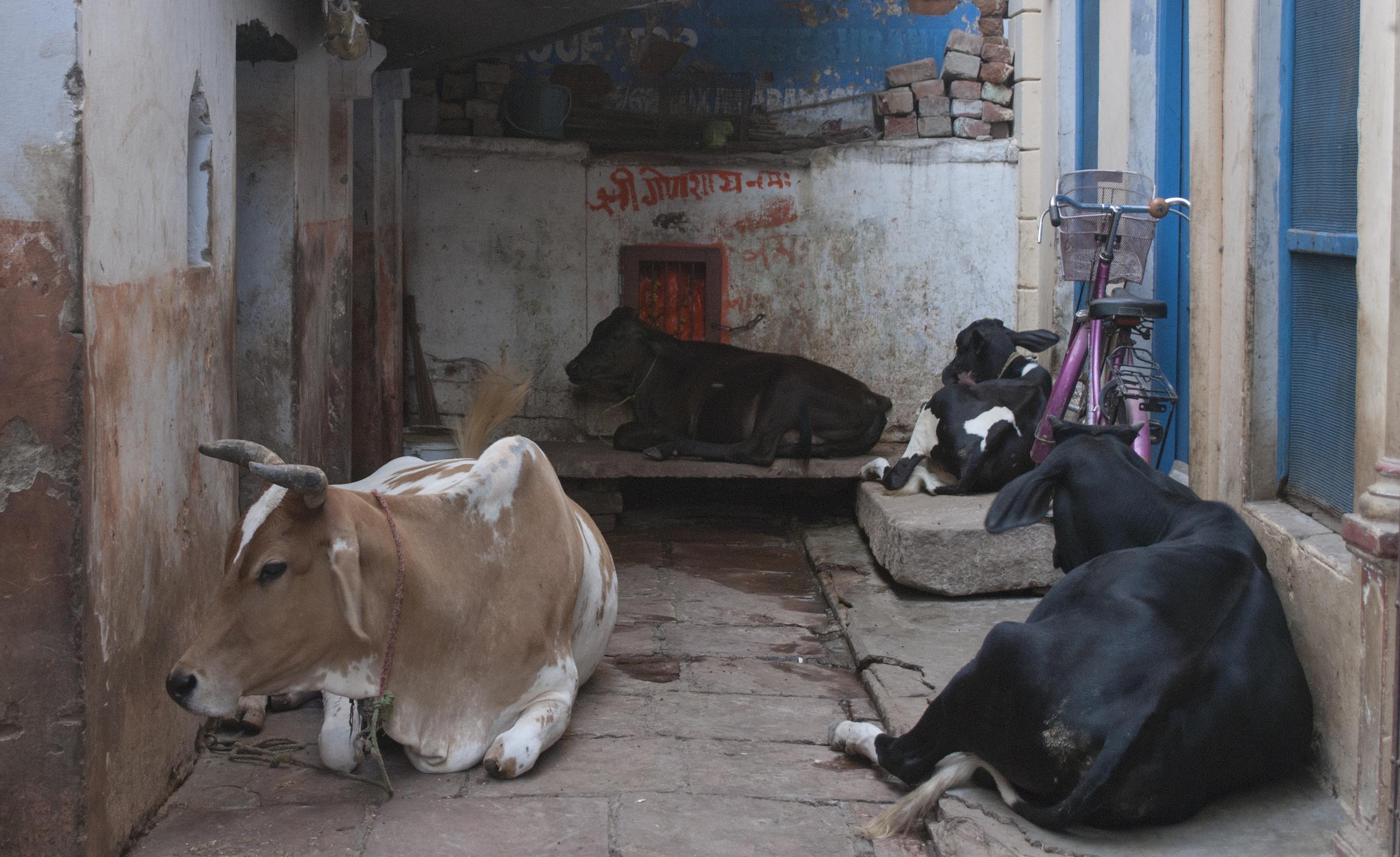 Cows sleeping outside of the hostel in Varanasi