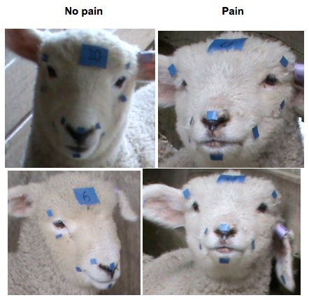Lamb Face Examples.png