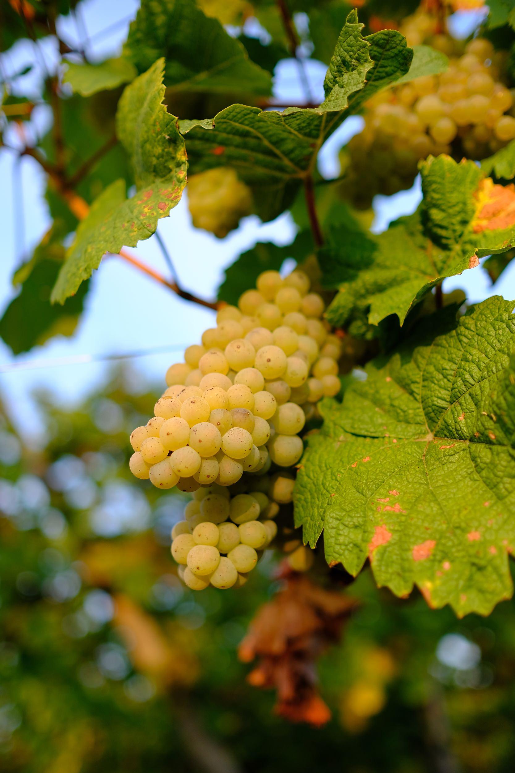 fotoreportage-wijn produceren-Vignoble des 2 lunes-Bosman Wijnkopers-453.jpg