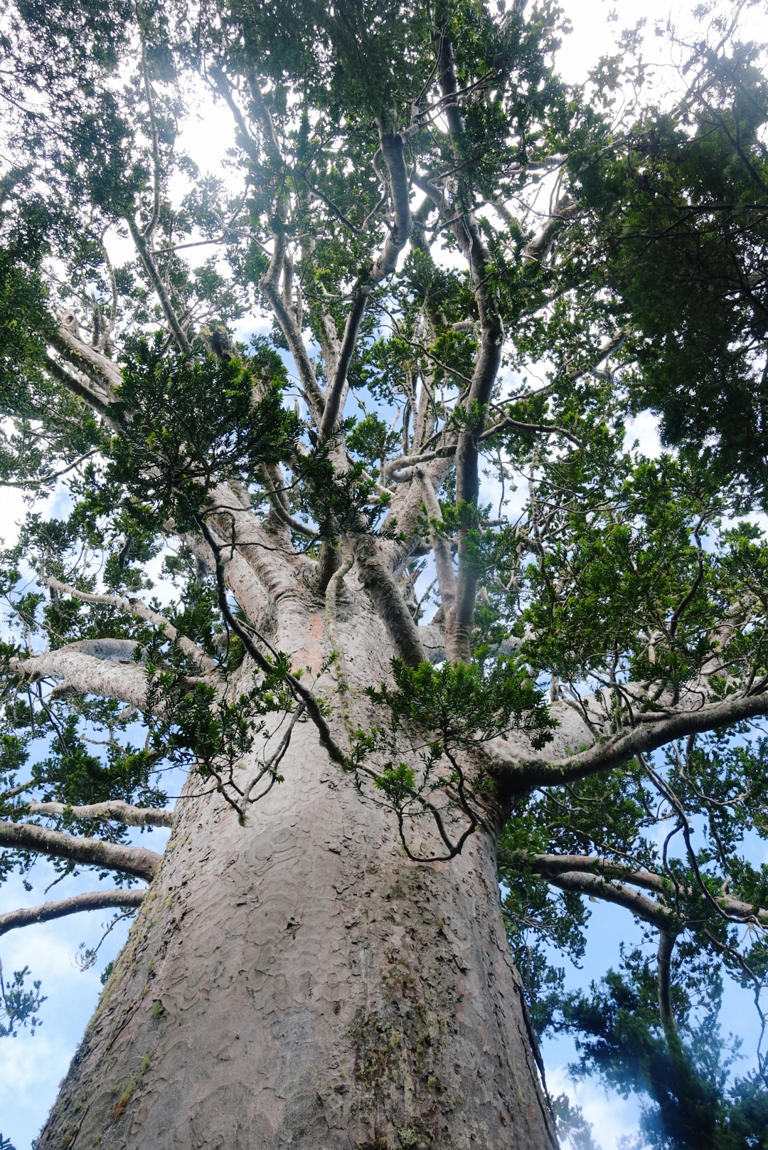 This massive Kauri, named Tane Moana, is believed to be over 1000 years old.  photo/ Jonathan