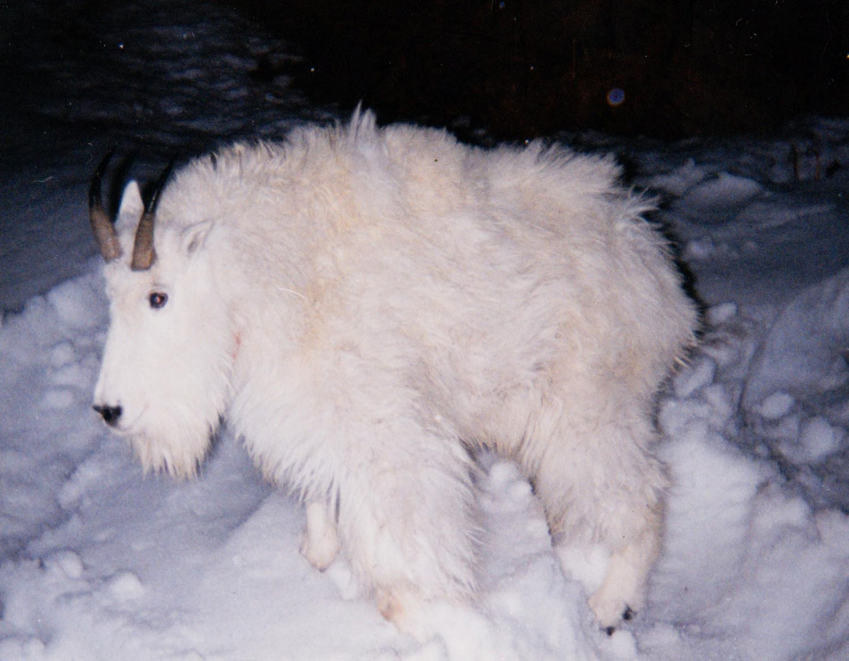 Goat-Transplant-01.jpg