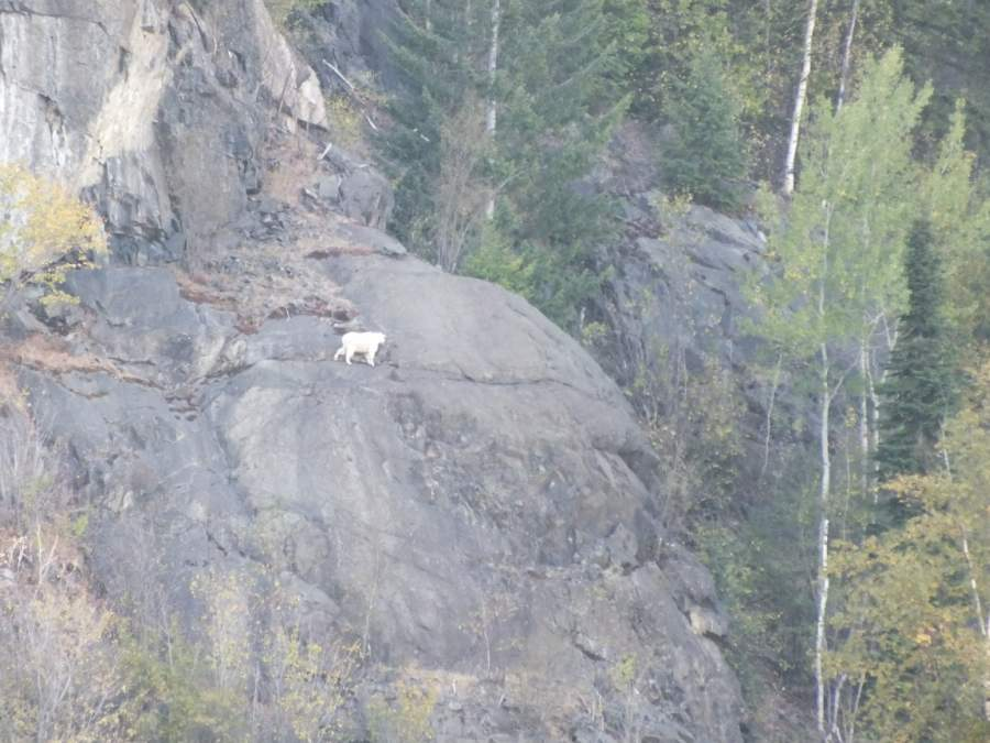 Rocky Mountain Goat  above the ranges.jpg