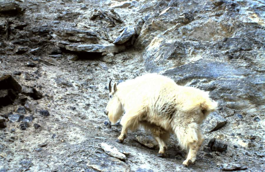 Rocky Mountain Goat.jpg