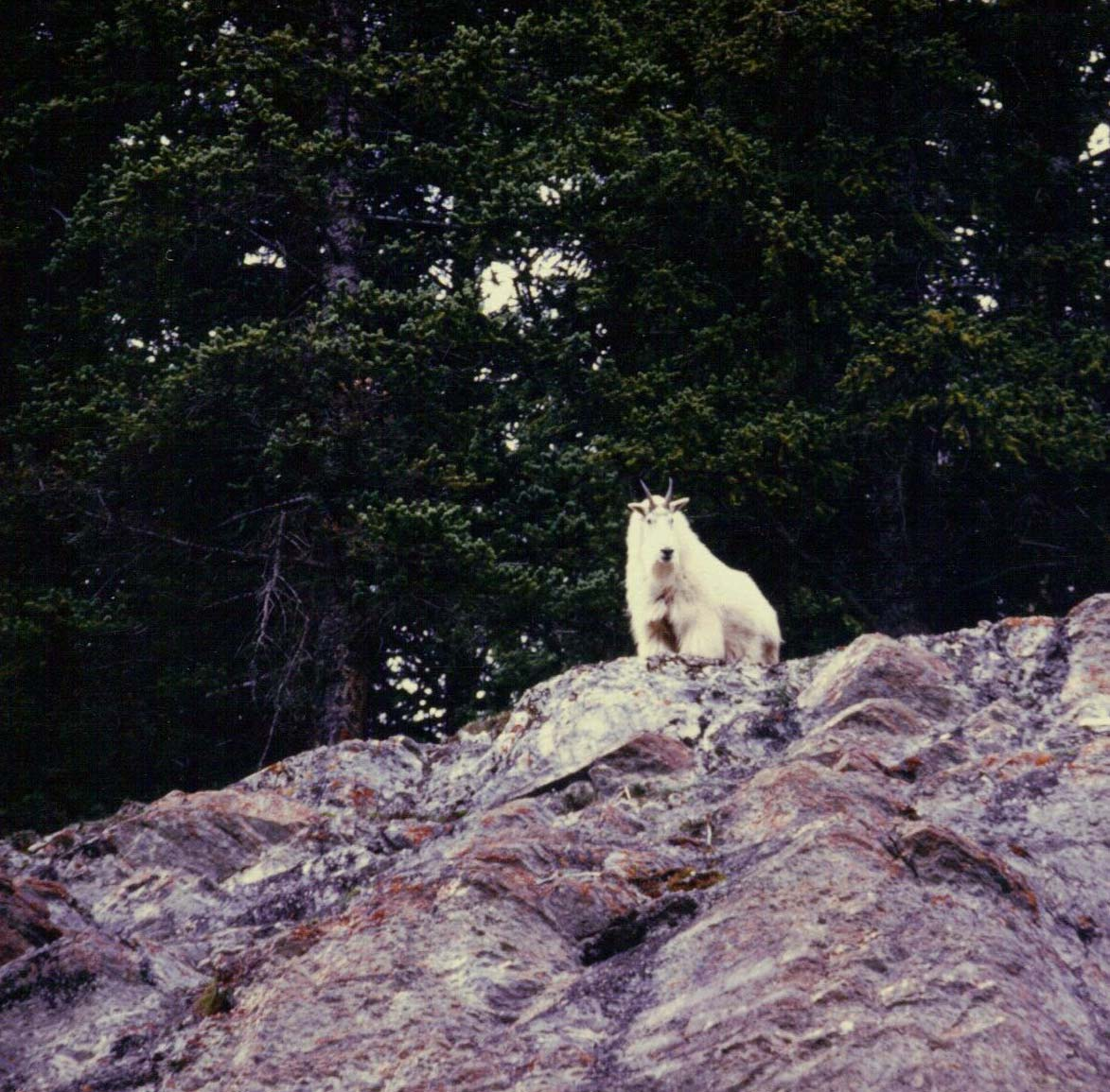 Rocky-Mountain-Goat-Looking-Down-resized.jpg