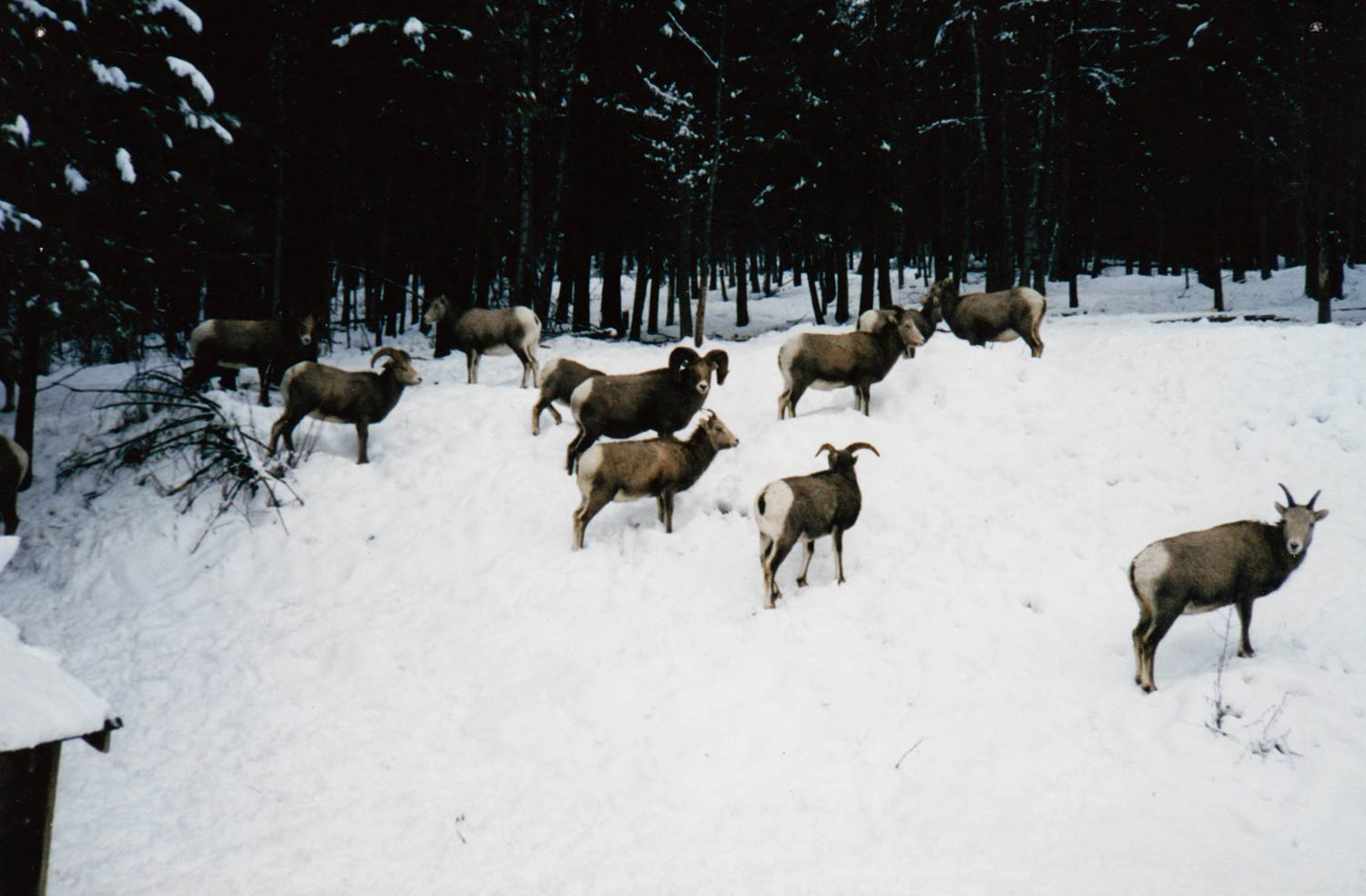 Salmo Creston Sheep 03.jpg