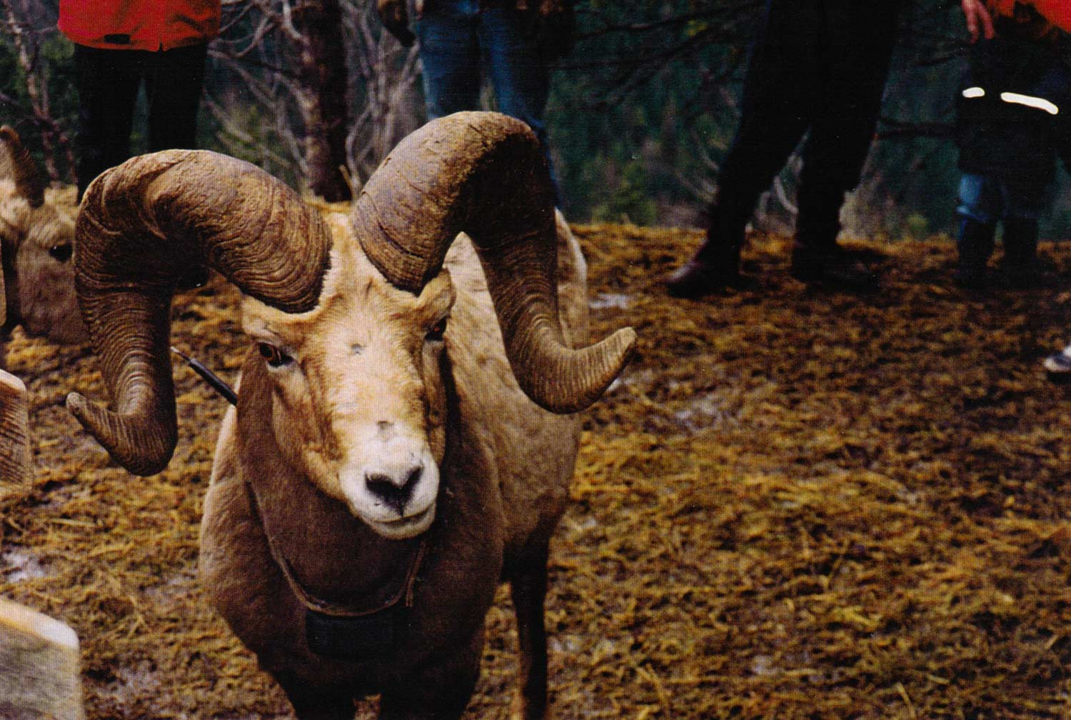 Salmo-Creston-Sheep-04.jpg