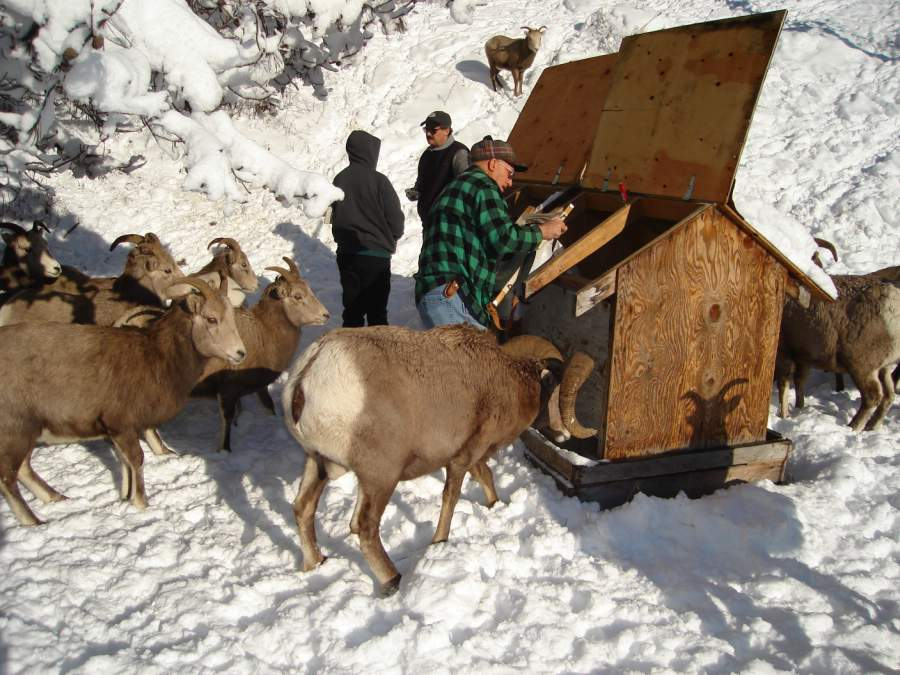 Kootenay Pass Bighorn Sheep.jpg