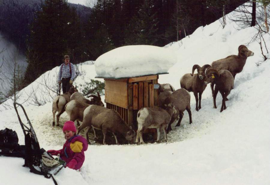 Kootenay Pass Sheep  Feeder 1990.jpg