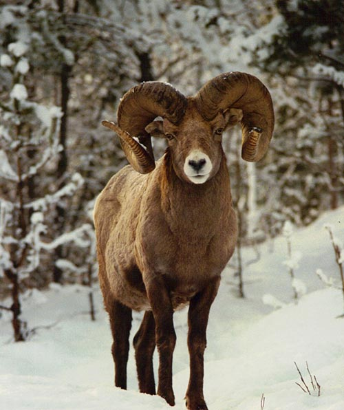 Kootenay-Pass-Bighorn-1989-resized.jpg