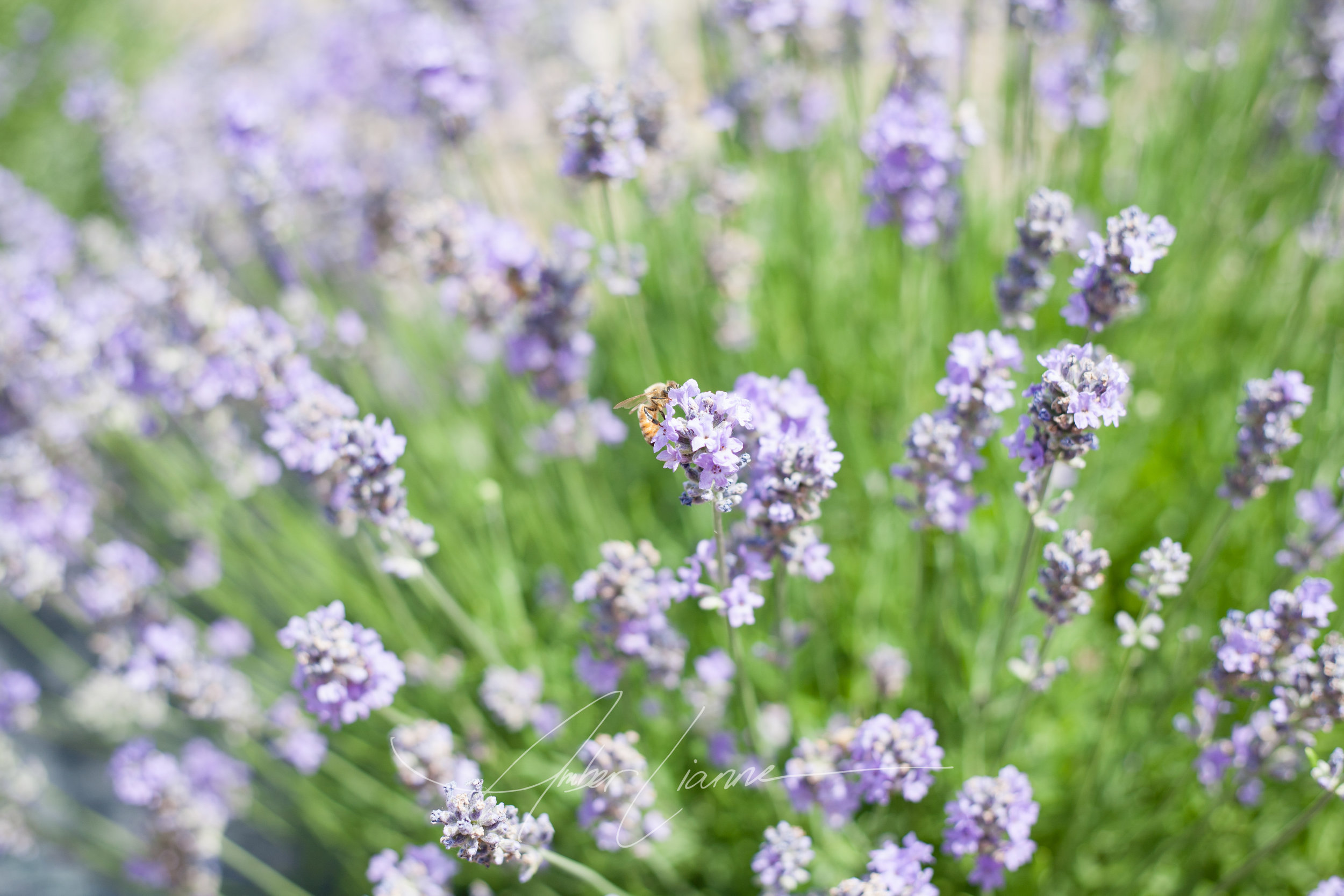 honeybee and lavender July 2016