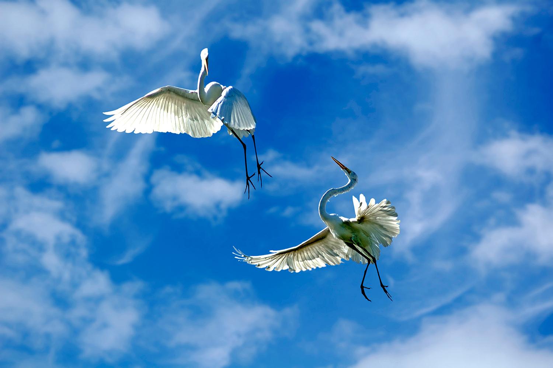 Grat Egrets