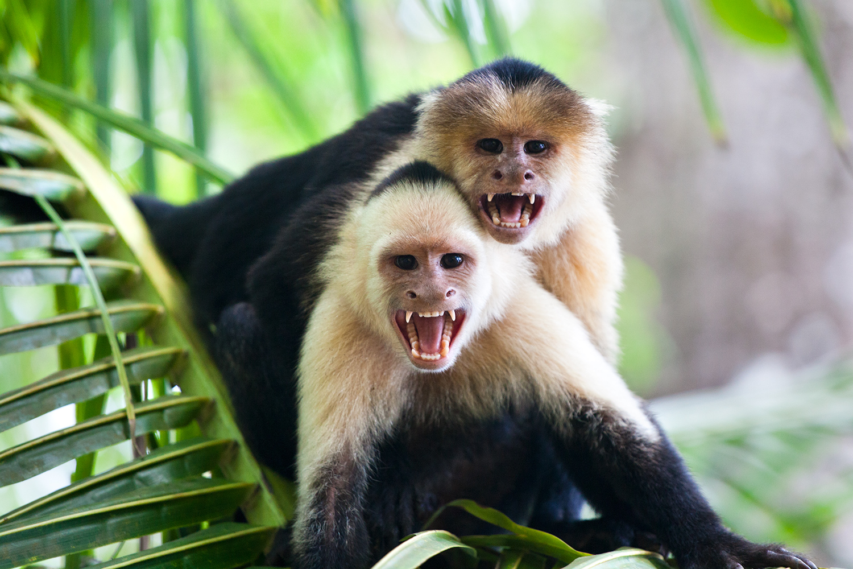 White Face monkeys