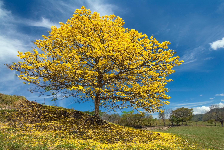 Gold tree (Cortez Amarillo)