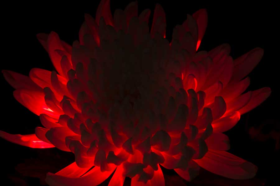 Light Painted Flower © Naida Ginnane 2018, Nikon D800, 24-70mm lens.   I used a flower in a vase on a black cloth and a red laser to light it from underneath. The laser is a very bright light source so I exposed it for a short time, only 15 secs. I like the way the flower appears to glow with the neon red colour.