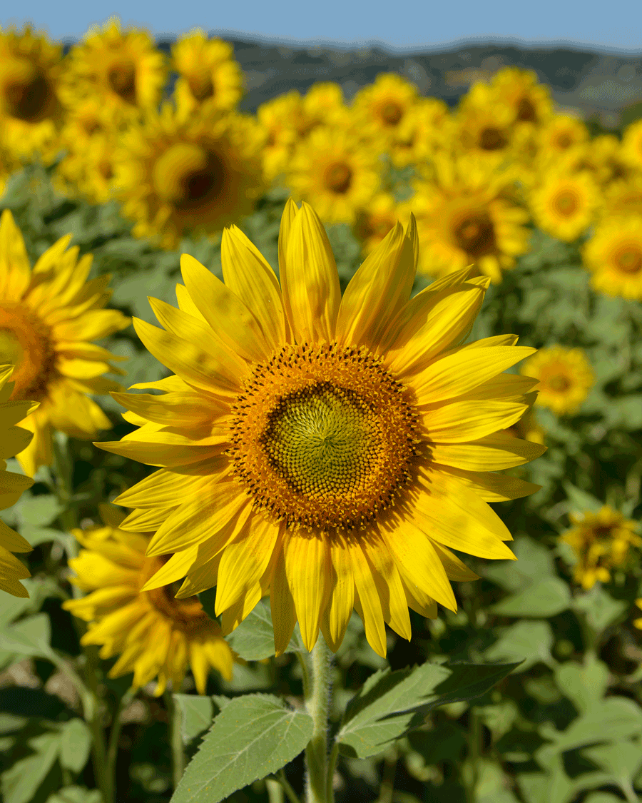 'Sunny Face' © Naida Ginnane 2014 Nikon D800, 24-70mm lens f/6.3, 1/500, ISO 80. Sunflowers are such a cheerful flower with their lovely big faces.