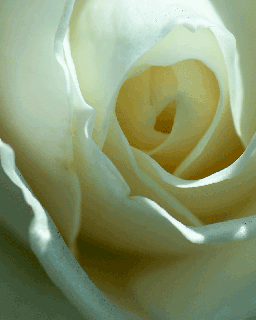 'Whitest Rose' © Naida Ginnane 2018, Nikon D800, 24-70mm lens, f/7.1, 1/500,ISO 100. The molecular pigments in the petals of this rose are reflecting the faintest hint of yellowish tones.