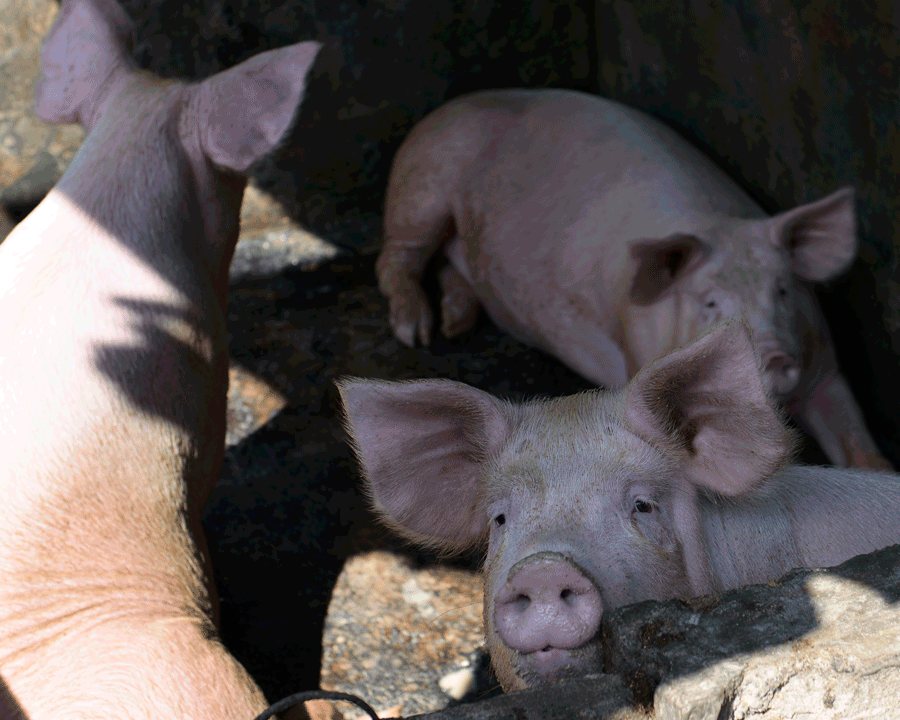 'Three Piggies' © Naida Ginnane 2015 Nikon D800 24-70mm lens,1/ 250, f/8, ISO 100. These pigs are all different and are seen from different angles within the circle, giving us lots more visual information.