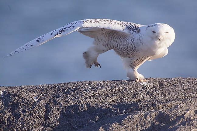 Snowy)Owl_MG_6329.jpg