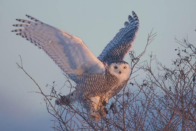 Snowy_OWl_(small)MG_6945.jpg