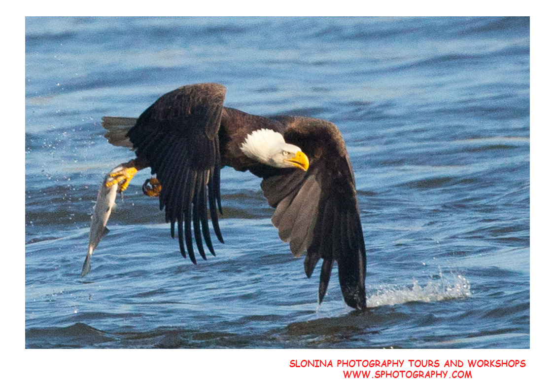 Bald_Eagle_Fishing_Photo_Workshop