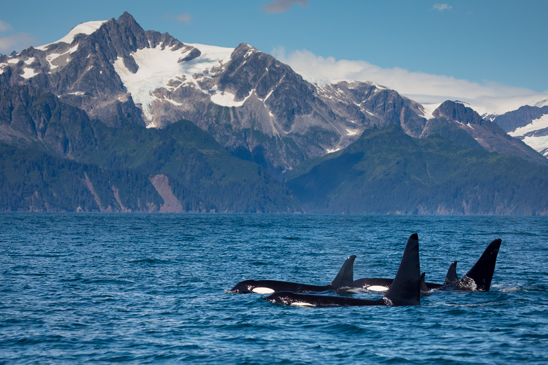Orcas-Killer-Whales_Alaska_Photo_Tour_Workshop-7604.JPG
