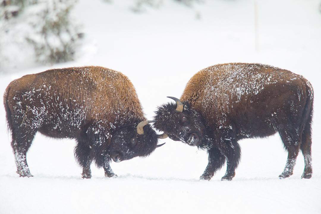 Yellowstone_Photo_Tour_Workshop_Bison-3690.JPG