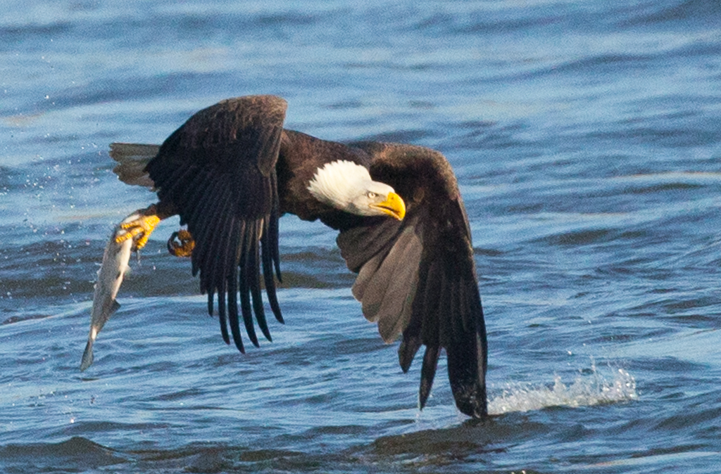 Bald_Eagle_Photo_Tour_Workshop-9681.jpg