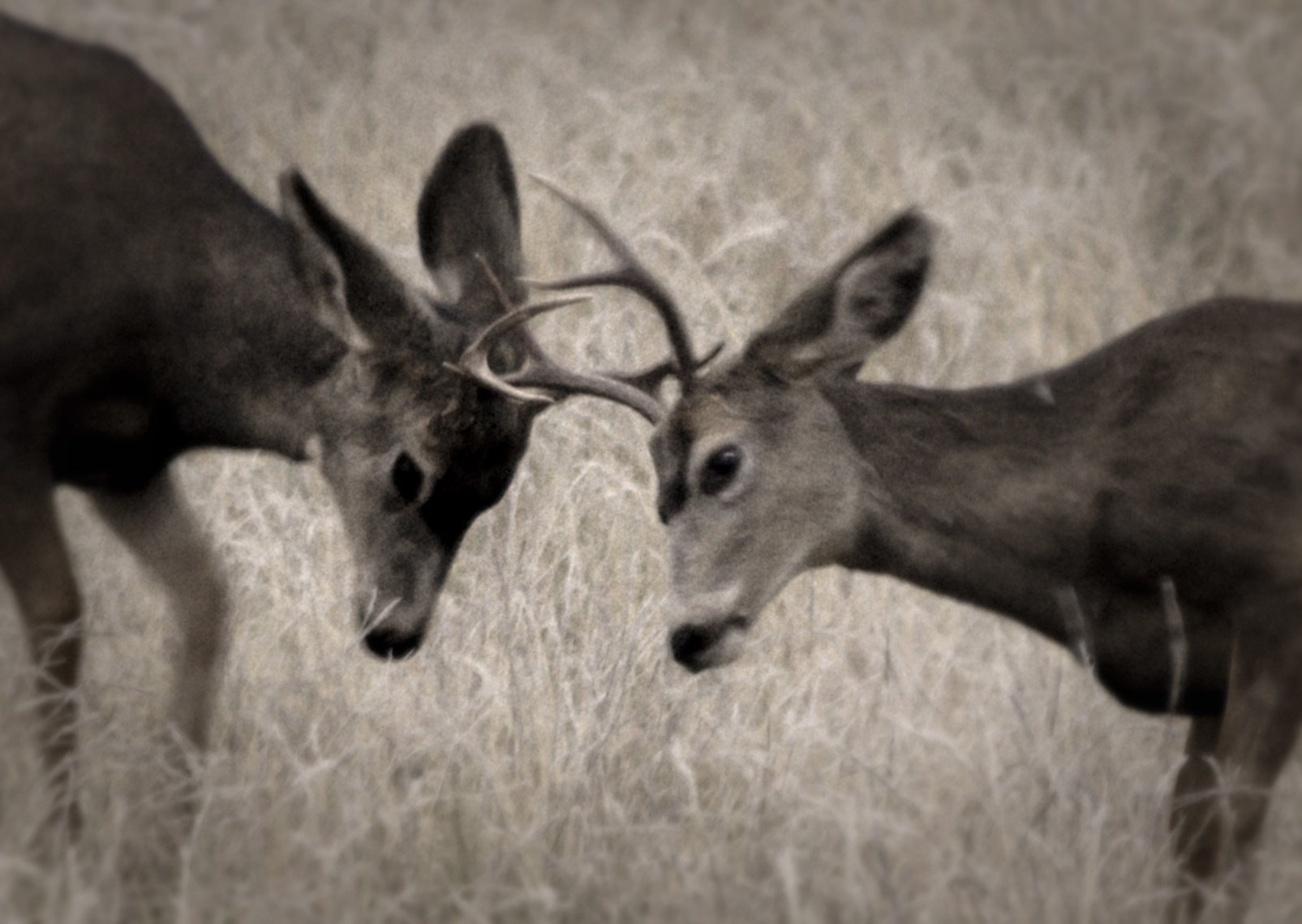 2fork bucks sparring.jpg