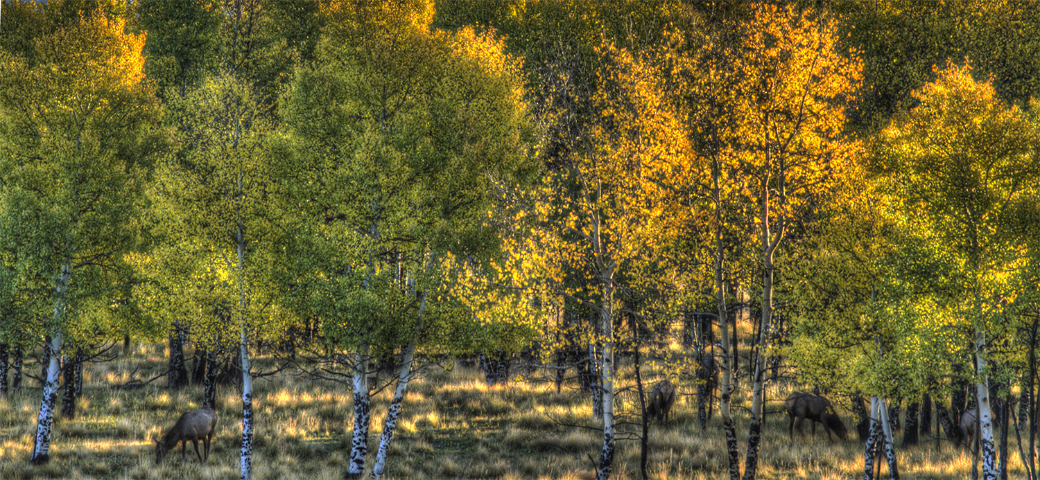 cow elk in fall aspens.jpg