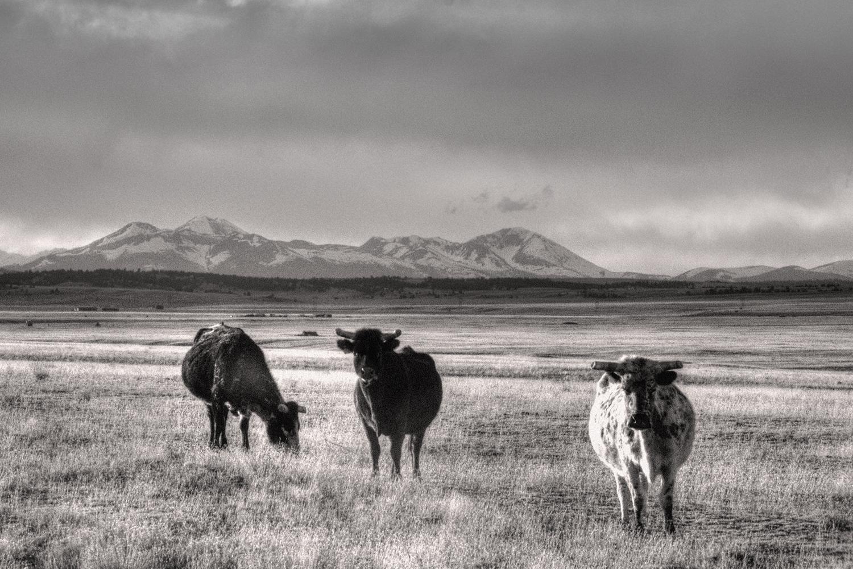 Hey Look—Cows!